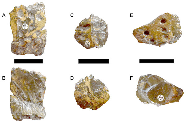 DORCM G.05067ii-iv osteoderms of Bathysuchus megarhinus gen. et. sp. nov.