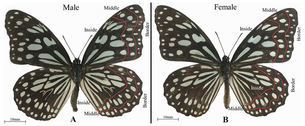 The wing surface was divided into border, middle, and inside parts to obtain spectral reflectance measurements from the wings of adult Tirumala limniace butterflies.