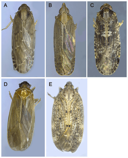 The pictures of five Achilidae insects sequenced in this study.
