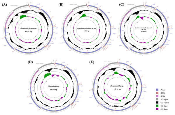 Circular diagram of five Achilidae mitochondrial genomes.