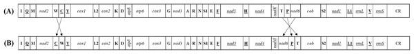 The mitochondrial gene arrangements detected from (A) Achilidae, Flatidae, Fulgoridae, Flatidae, Issidae and Ricaniidae and (the putative ancestral arthropod) and (B) Delphacidae.