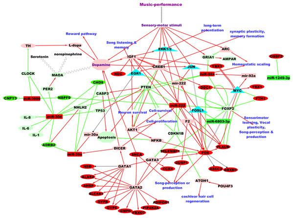 Putative TF:microRNA:gene regulatory network in professional music-performance.