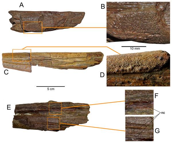 Loancorhynchus catrillancai gen. et sp. nov. SGO.PV.6634, holotype. Distribution of villiform teeth and canali.