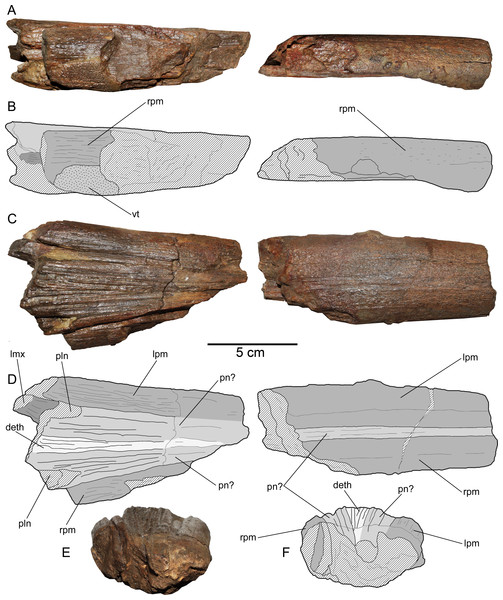 Loancorhynchus catrillancai gen. et sp. nov. SGO.PV.6634, holotype. Anatomy of the rostrum.