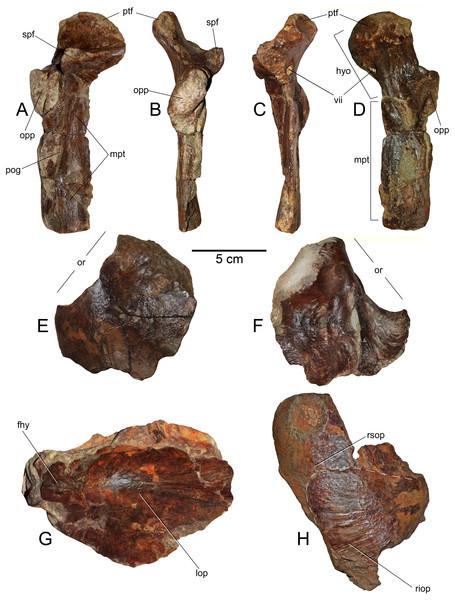 Loancorhynchus catrillancai gen. et sp. nov. SGO.PV.6634, holotype. Skull elements.