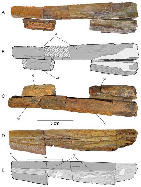 Loancorhynchus catrillancai gen. et sp. nov. SGO.PV.6634, holotype. Dentaries.