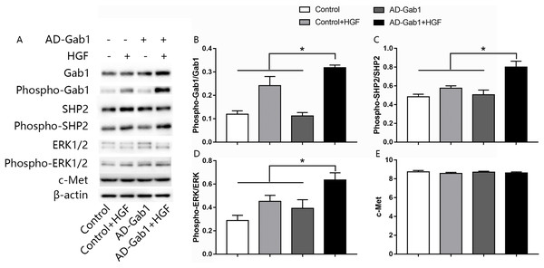 Effect of overexpression of Gab1 on HGF-induced phosphorylation of SHP2 and ERK1/2.