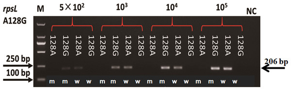 Sensitivity of AS-PCR primers for A128G in the rpsL gene.