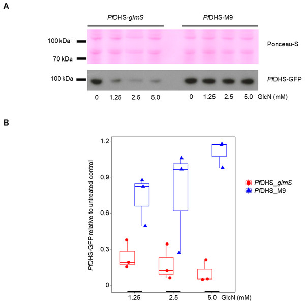 Attenuation of PfDHS expression in transgenic parasites.