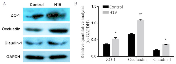 Overexpression of H19 upregulated the TJ-related proteins expression of MAC-T cells.