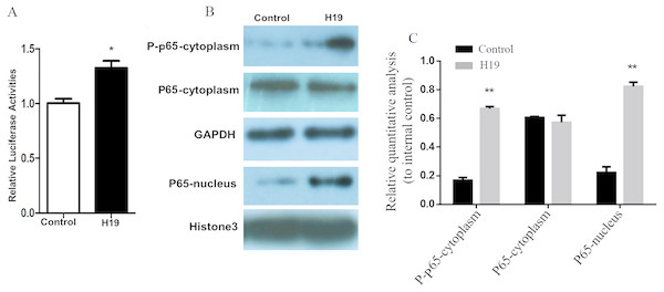 Overexpression of H19 in MAC-T cells intensified the activation of the NF-κB signal pathway.