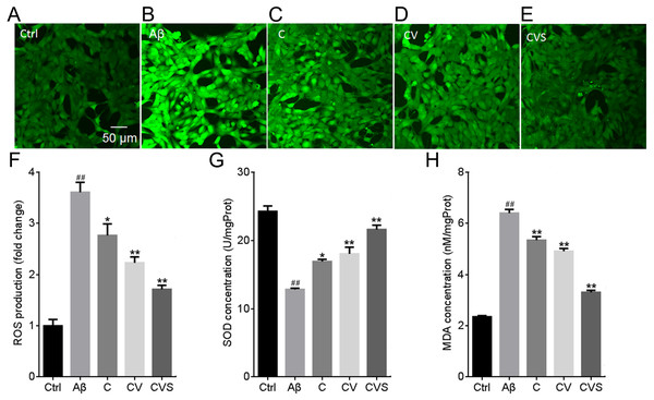 CVS pretreatment prevents Aβ25−35-induced oxidative stress in PC12 cells.