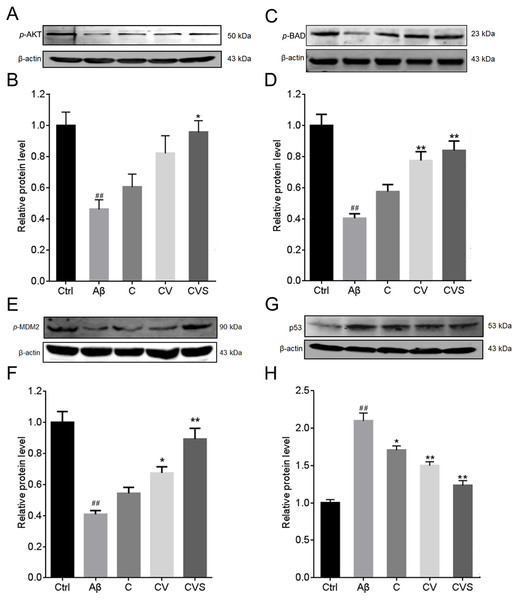 Effects of CVS pretreatment on the expression of critical proteins.