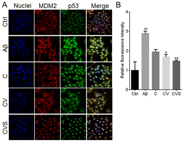 CVS reduced the intranuclear content of p53 in Aβ25−35-treated PC12 cells.