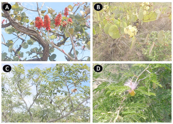 Leguminosae species with more medicinal applications in Angola. Erythrina abyssinica (A); Bauhinia thonningii (B); Pterocarpus angolensis (C); Dichrostachys cinerea (D).