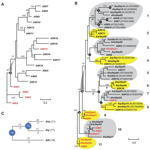 A short evolutionary history of the Arabidopsis Skp1 genes within the Arabidopsis genus.