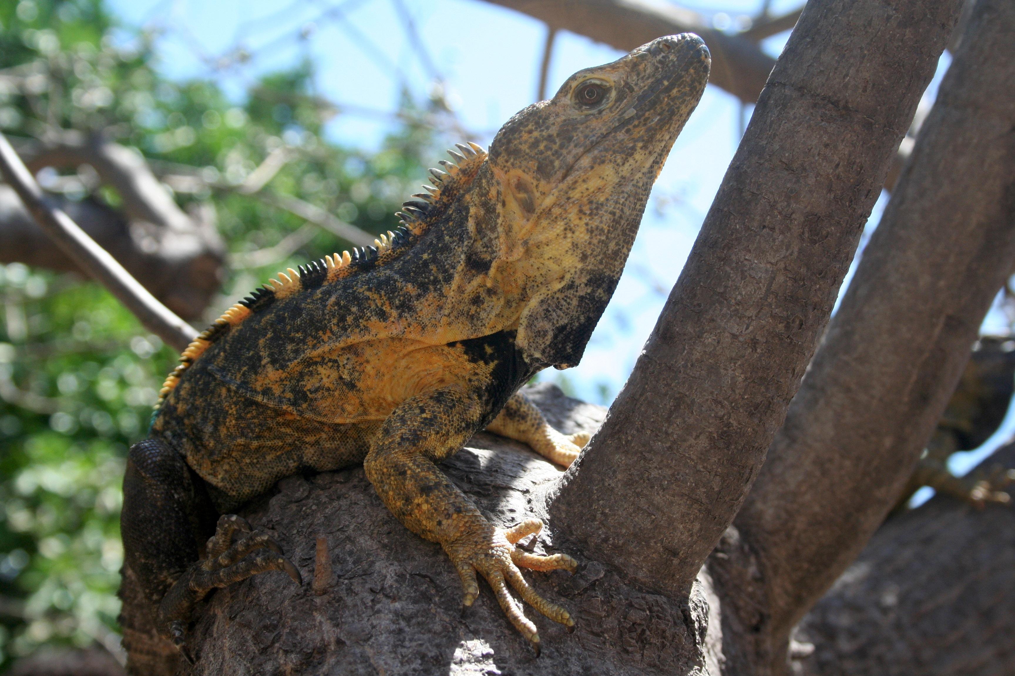 093dc5958e4 Introgressive hybridization in a Spiny-Tailed Iguana, Ctenosaura ...