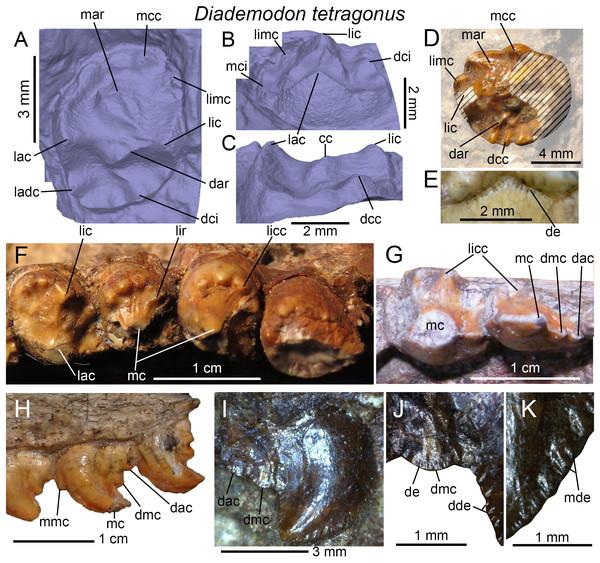 Dentition of Diademodon tetragonus.