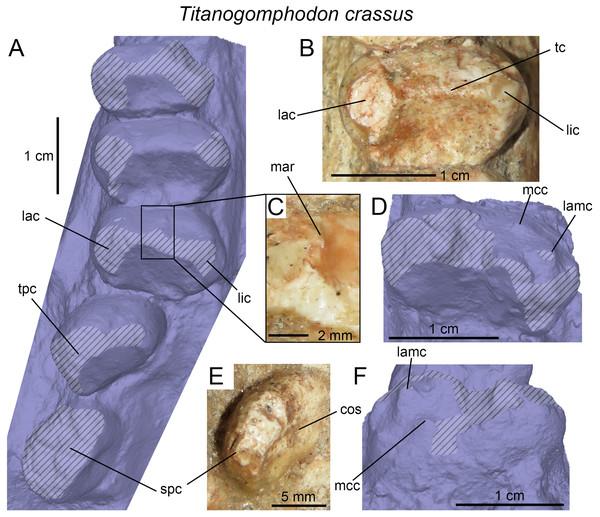 Dentition of Titanogomphodon crassus.