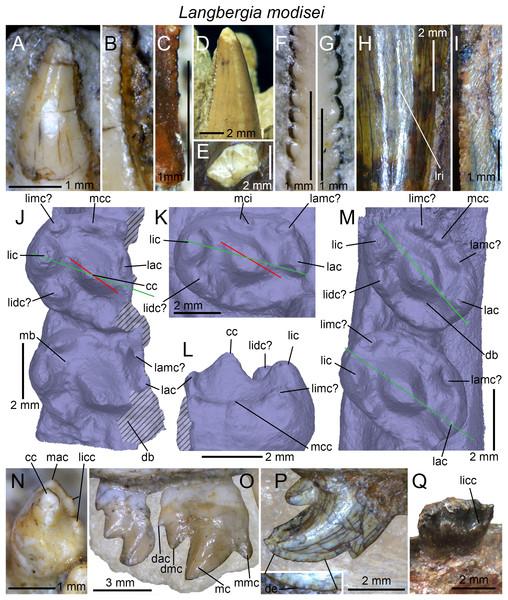 Dentition of Langbergia modisei.