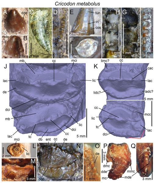 Dentition of Cricodon formosus.
