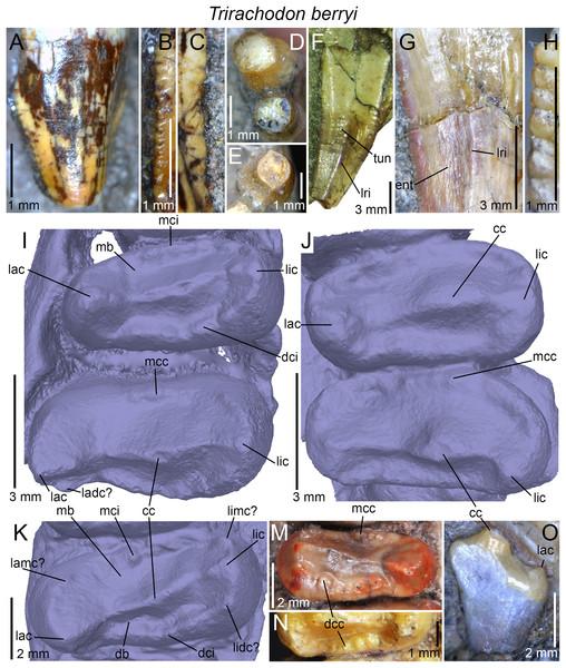 Dentition of Trirachodon berryi.
