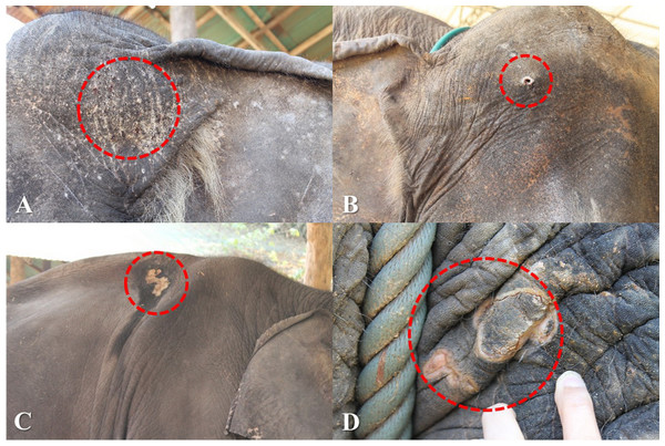 Skin lesions from inappropriate restraining method and improper use of equipment.