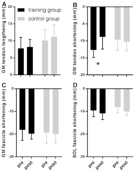 Tendon (A–B) and fascicle (C–D) measures during the stance phase of running compared between tests pre- and post-training in the training (black) and the control group (grey).