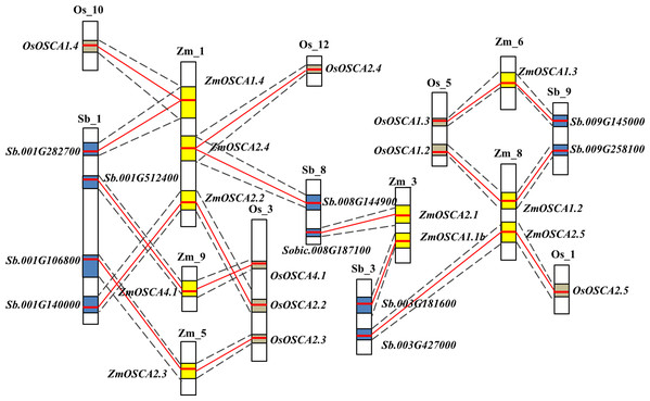 Schematic diagram of syntenic chromosomal segments containing ZmOSCA genes between the sorghum, rice, and maize genomes.