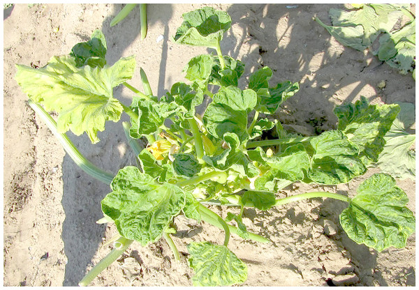 Symptoms associated to squash leaf curl virus (SLCuV) in Cucurbita pepo: thickened leaf vein-banding, mild chlorosis, severe leaf curling, reduction in the size of leaf, leaf distortion and mottled interveinal tissue were observed in squash plantation.