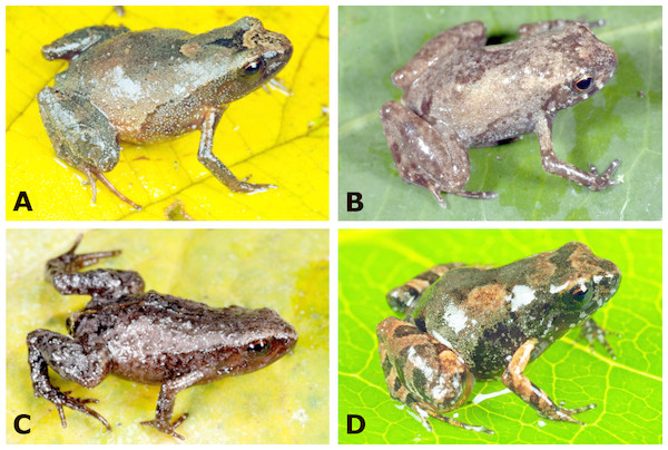 Species of Noblella (Anura, Strabomantidae) from southern Peru.