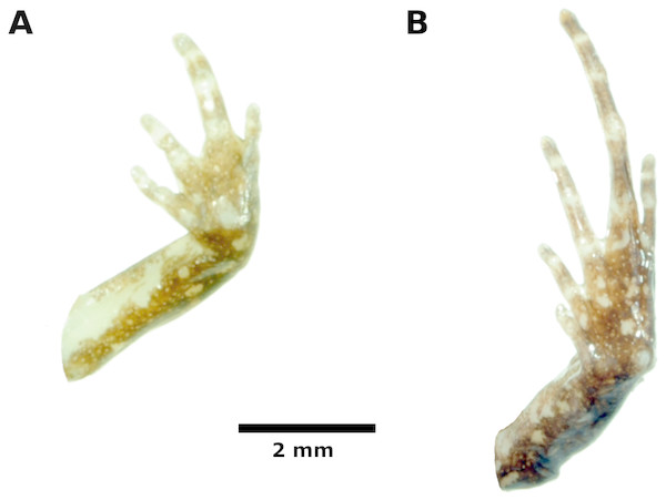 Palmar and plantar surfaces of the holotype of Noblella thiuni sp. n
