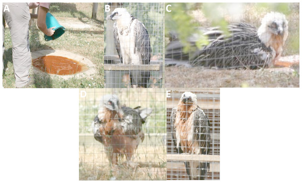 Experimental observations of Bearded Vulture bathing behaviour at the Guadalentín recovery center.