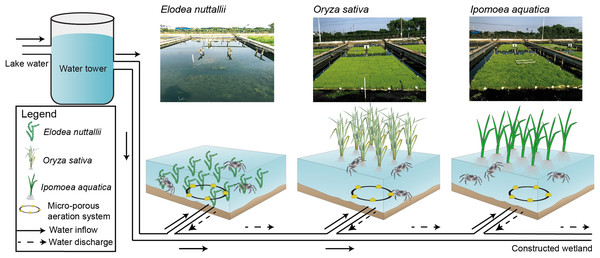 Experimental design and schematics for three macrophyte systems.