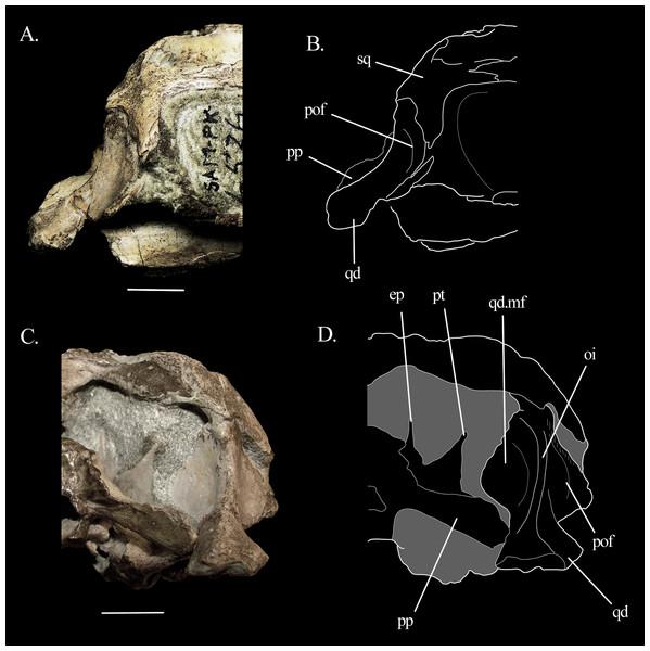 Quadrate of Mesosuchus.