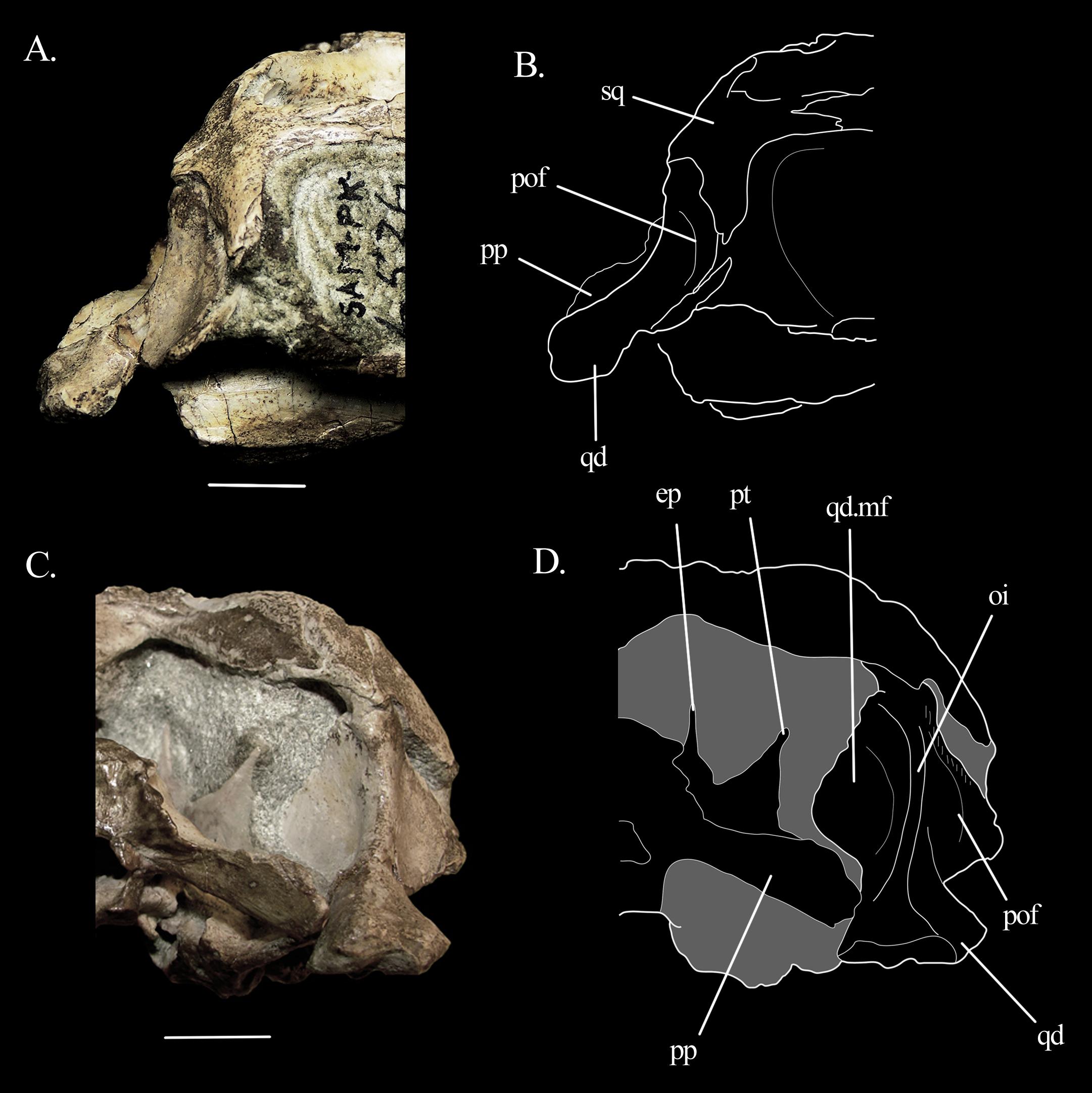 The braincase of Mesosuchus browni (Reptilia, Archosauromorpha) with
