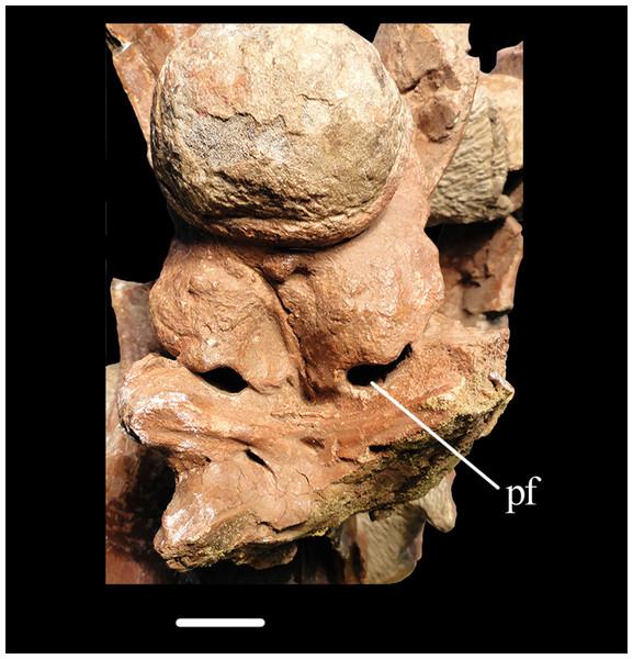 Braincase of Erythrosuchus.