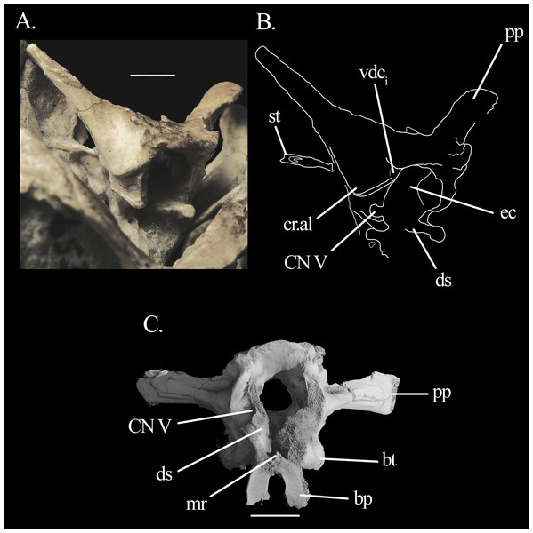 Braincase of Mesosuchus browni.