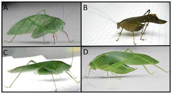 Four species of Phaneropterine katydids from Barro Colorado Island.