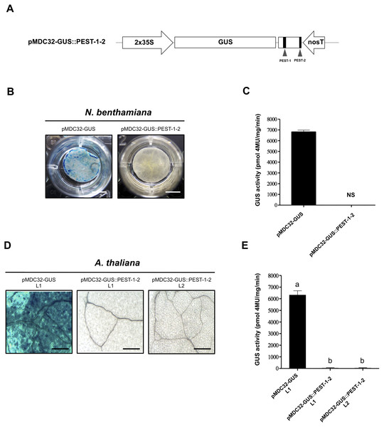 The OpsDHN1 C-terminal PEST-containing region leads to complete GUS degradation.