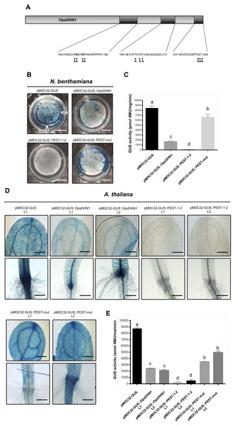PEST sequence mutations enhance GUS signal in plant cells harboring the pMDC32-GUS::PEST-mut version.