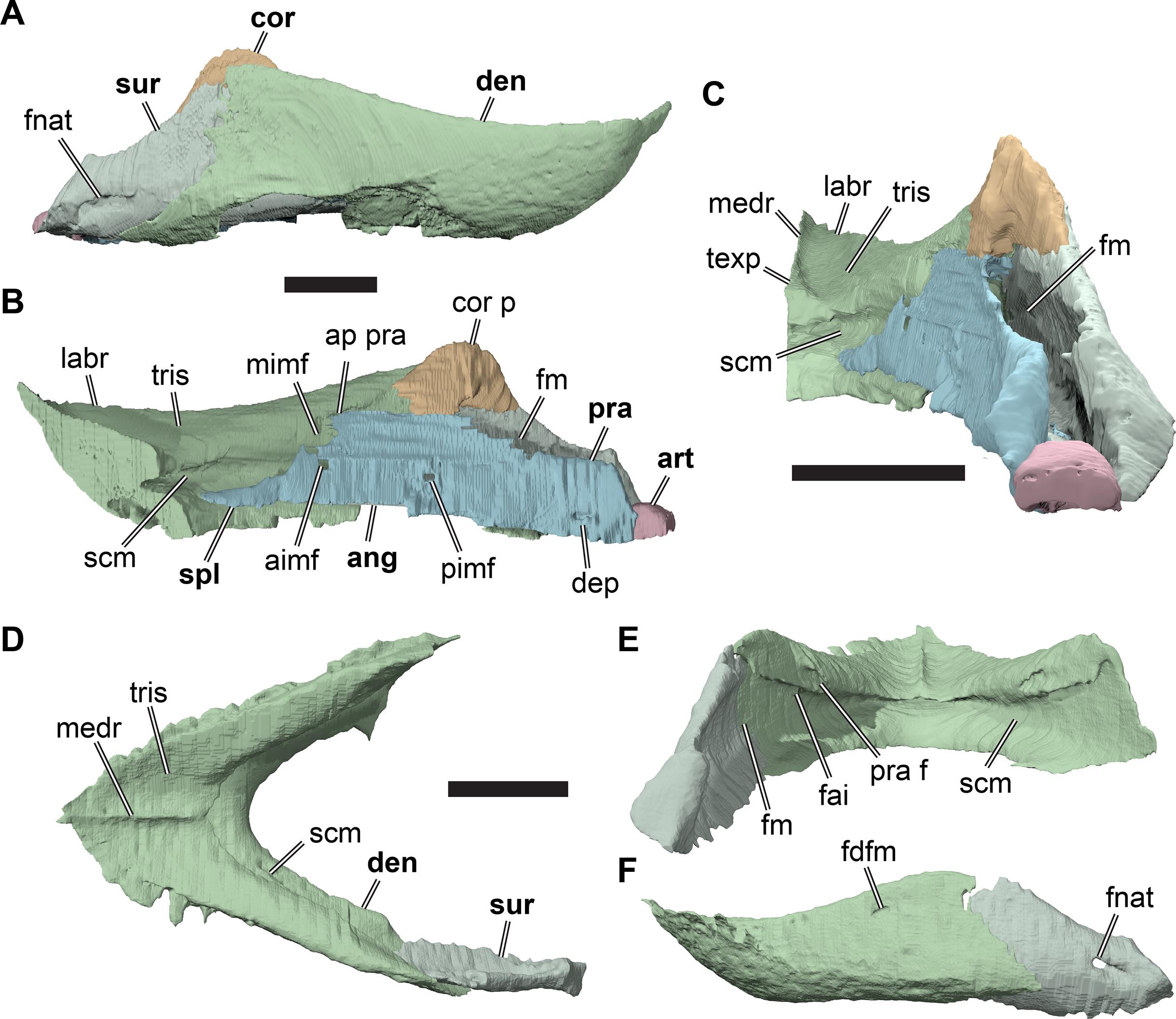 Anatomy of Rhinochelys pulchriceps (Protostegidae) and marine
