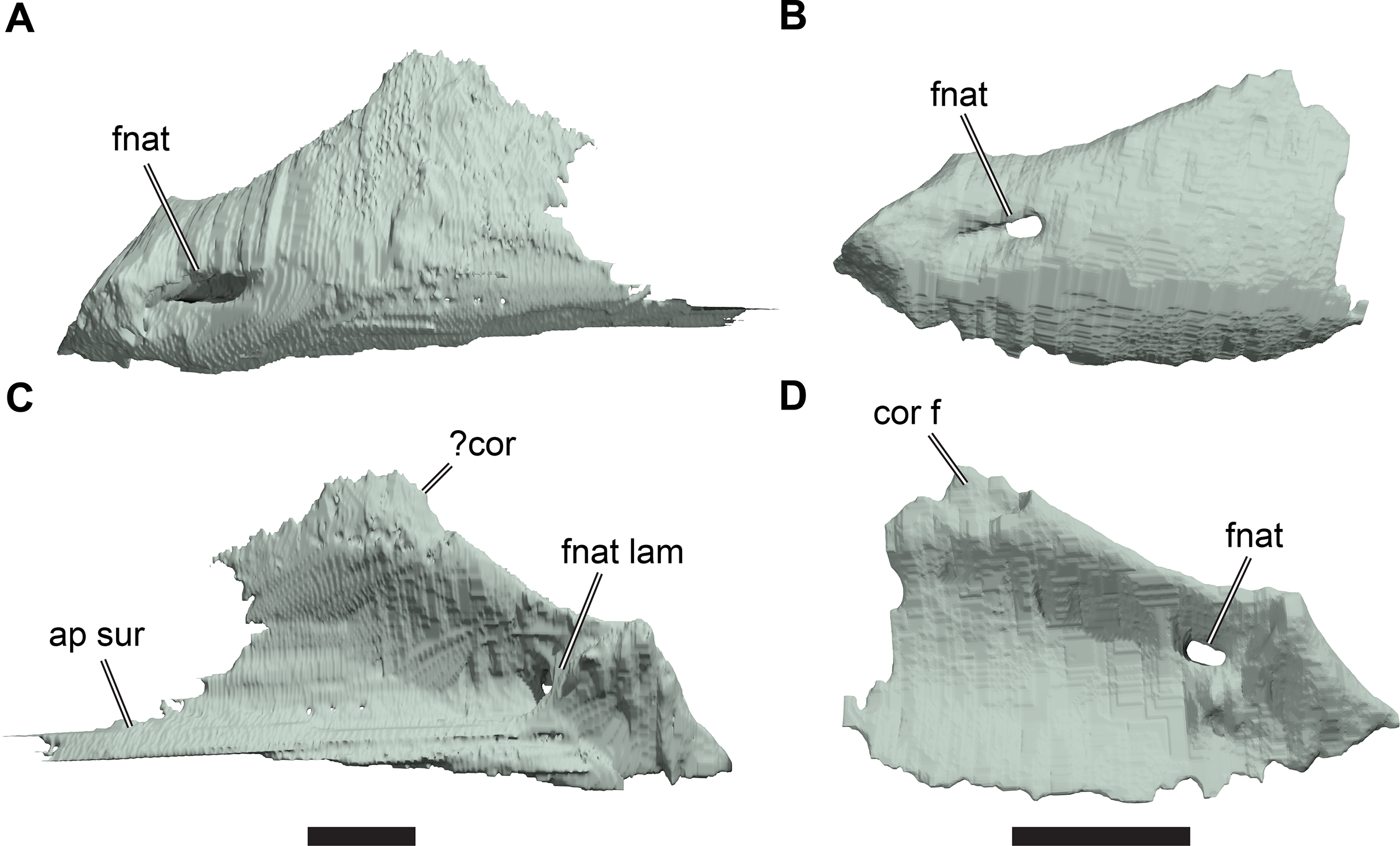 Anatomy of Rhinochelys pulchriceps (Protostegidae) and