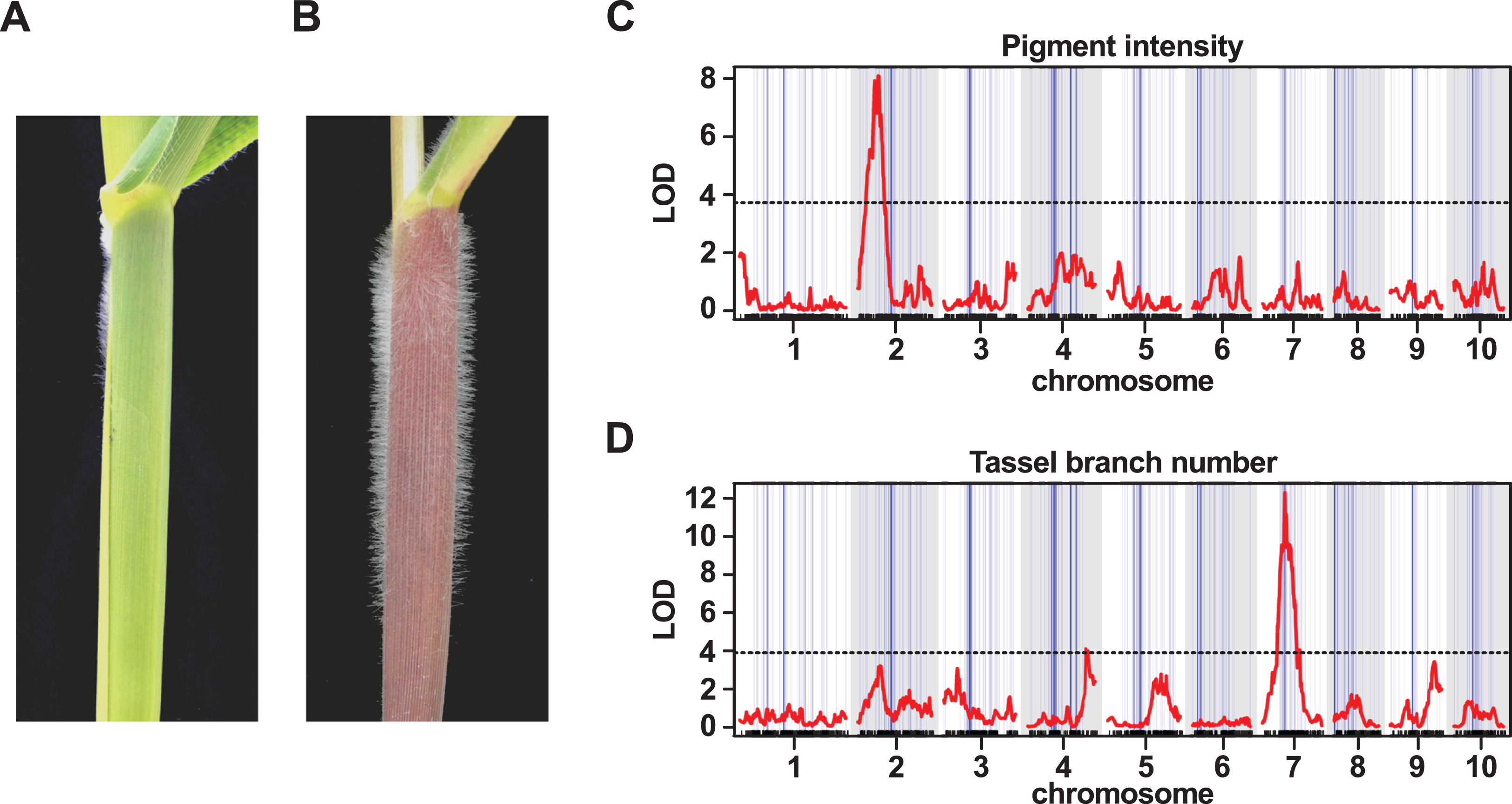 Characterization of introgression from the teosinte Zea mays