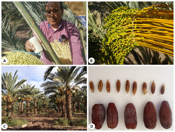 (A) Manual pollination process using a plastic squeeze bottle. (B) View of bunch 45 days after pollination. (C) Panoramic view of a Medjool date plantation in Ejido Jiquilpan, in the Mexicali Valley, México. (D) Fruit harvested in the middle of the Tamar stag.