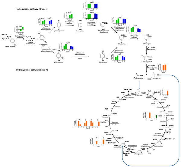 Differential expression of the clusters of genes involved in PNP degradation by Burkholderia zhejiangensis CEIB S4-3.