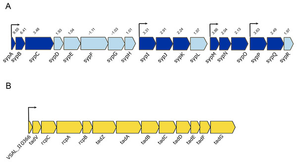 Schematic representation of the genetic organization of A. salmonicida syp and tad operons.