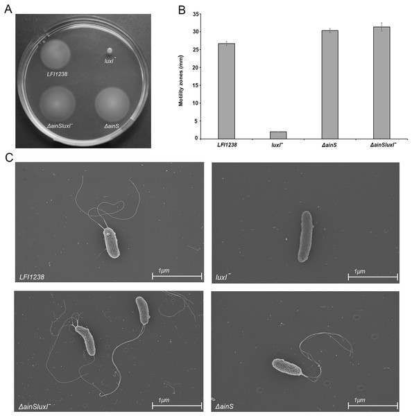 Motility of LFI1238, luxI−, ΔainS, and ΔainSluxI−.