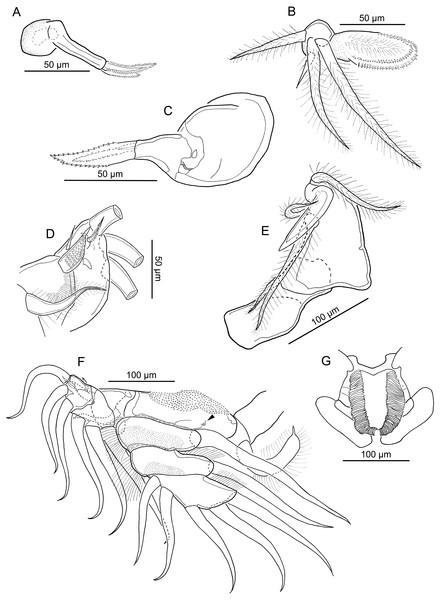 Line drawings of Nothobomolochus johndaveorum n. sp.
