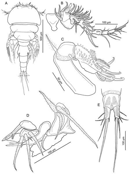 Line drawings of Unicolax longicrus n. sp. female.